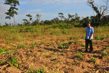 Một rẫy đậu xanh ở xã Ia R'Vê bị voi rừng phá sạch.