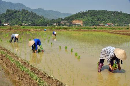 Chuyển một phần đất cấy lúa sang trồng các loại cây khác là nhu cầu cấp bách
