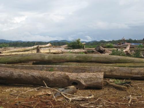 Những khúc gỗ bị chặt hạ, nằm ngổn ngang ngay giữa rừng (Ảnh: Hùng Võ/Vietnam+)