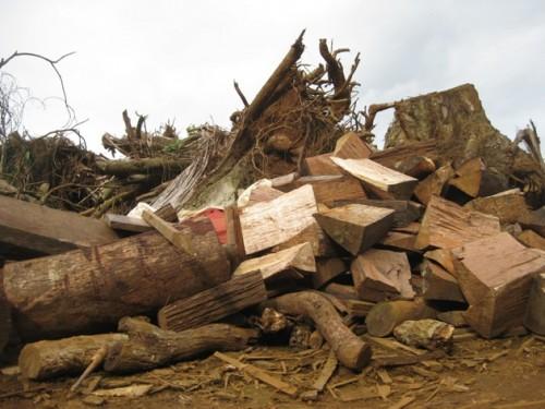 Những cây gỗ lớn được xẻ thịt vứt thành bãi (Ảnh: Hùng Võ/Vietnam+)