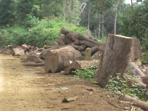 Từng bãi gỗ lớn nằm lăn lóc hai bên đường, chờ xe đến thu gom (Ảnh: Hùng Võ/Vietnam+)