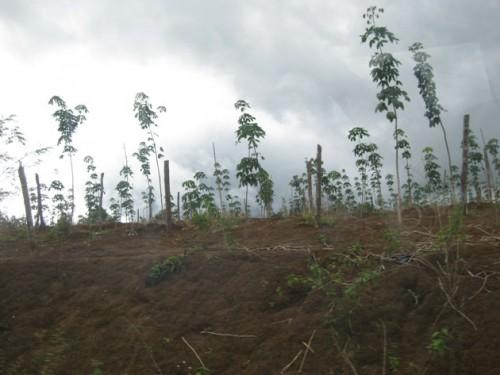 Cánh rừng bạt ngàn gỗ quý, nay nhường chỗ cho cây cao su. (Ảnh: Hùng Võ/Vietnam+)