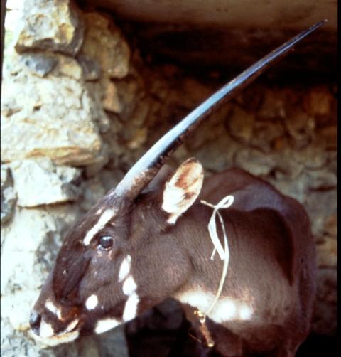 Sao la- một trong những loài thuộc bộ guốc bị đe dọa tuyệt chủng (Ảnh: An ninh Thủ đô)