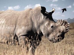 Nỗ lực bảo tồn loài tê giác ở Nam Phi (Ảnh: BTC/VietnamPlus)