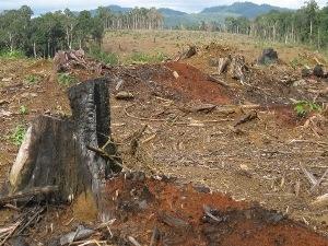 """Cánh rừng bạt ngàn gỗ bị """"xẻ thịt,"""" để doanh nghiệp trồng cây cao su. (Ảnh: Hùng Võ/Vietnam+)"""