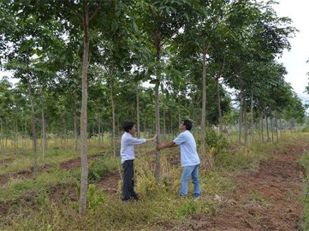 Một khu rừng của Lâm trường Cư M'lanh (tỉnh Đắk Lắk) bị người dân phá để trồng cây cao su (Ảnh: Cao Nguyên/nld.com.vn)