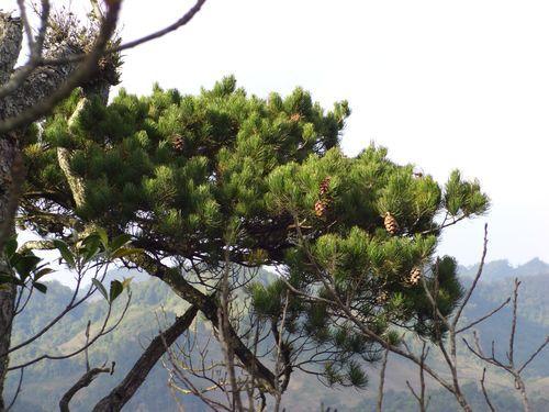 Chỉ dẫn về các loài Thông ở vùng núi Mai Châu – Mộc Châu