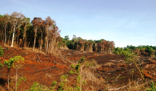 Rừng tự nhiên ở Tây Nguyên suy giảm nhanh chóng một phần do chuyển đổi sang trồng cao su (Ảnh: Ngọc Hà/TTXVN)