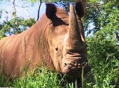 Đã có hoạt chất thay mật gấu, sừng tê giác?