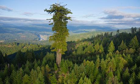 Rừng gỗ hồng sắc có tuổi còn sót lại ở Công viên Humboldt – Mỹ (Ảnh: Michael Nichols/NG/Getty Images)