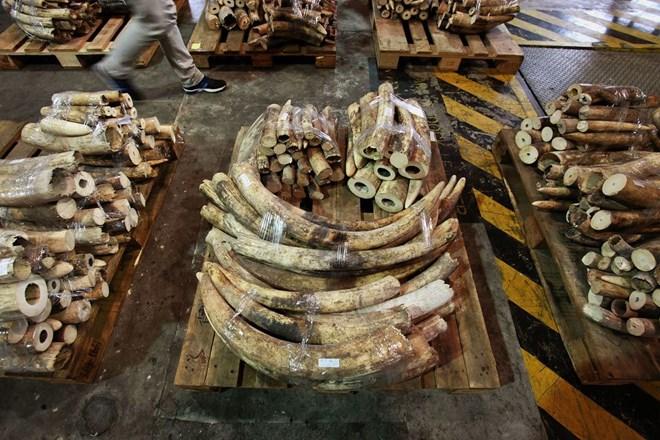 Hồng Kông thiêu hủy 30 tấn ngà voi
