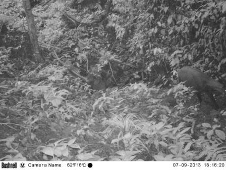 Ảnh saola chụp bằng bẫy ảnh (Ảnh: WWF)