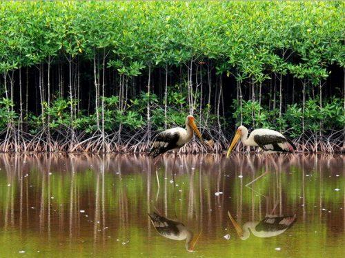 Vườn quốc gia Mũi Cà Mau (Ảnh: Võ Thanh Trà/TTXVN)