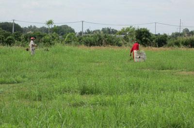 Đất bỏ hoang, cỏ mọc nên người dân lân cận hàng ngày vào KCN Đông Nam, huyện Củ Chi, TPHCM cắt cỏ về cho bò ăn (Ảnh: Sài Gòn Giải Phóng)
