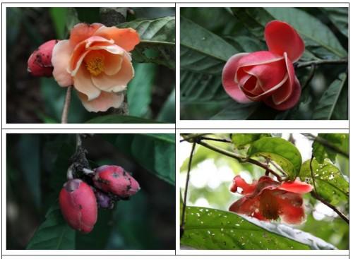 Hình ảnh loài Camellia longii ngoài tự nhiên vùng rừng Cát Lộc (Ảnh: Vũ ngọc Long)