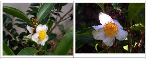 Hình ảnh chụp loài Camellia curyana ngoài tự nhiên vùng núi bidoup Núi Bà (Ảnh: Anthony Curry)