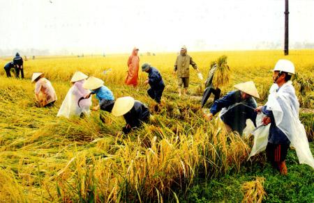 Hạt gạo Việt Nam