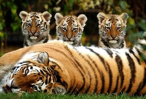 Ảnh minh họa: Bengaltiger Conservation