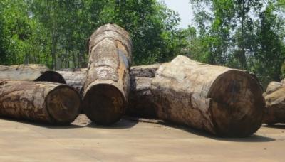 Gỗ Du Sam thuộc nhóm IIA quý hiếm bị khai thác trái phép tại Tiểu khu 1618 thuộc Khu Bảo tồn thiên nhiên Nam Nung quản lý (Ảnh: Nhân Dân)