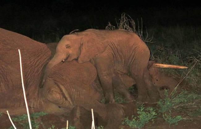 Cảm thương với hình ảnh chú voi con không rời xác cha mẹ