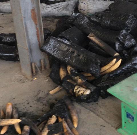 Bắt giữ hơn 1 tấn ngà voi ngụy trang trong than củi