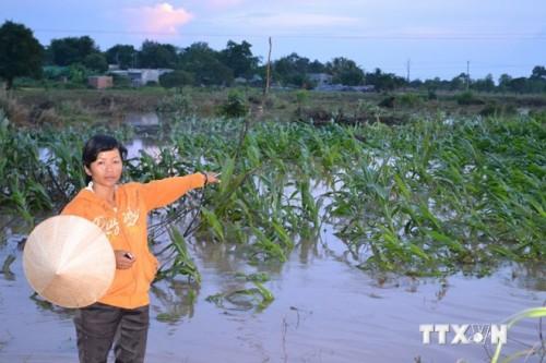 Nước từ kênh bị vỡ làm ngập diện tích canh tác của người dân (Ảnh: Anh Dũng/TTXVN)