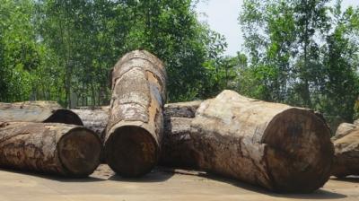Gỗ Du Sam thuộc nhóm IIa quý hiếm tại Khu Bảo tồn thiên nhiên Nam Nung bị khai thác trái phép được lực lượng kiểm lâm tỉnh Đác Nông phát hiện, bắt giữ (Ảnh: Nhân Dân)