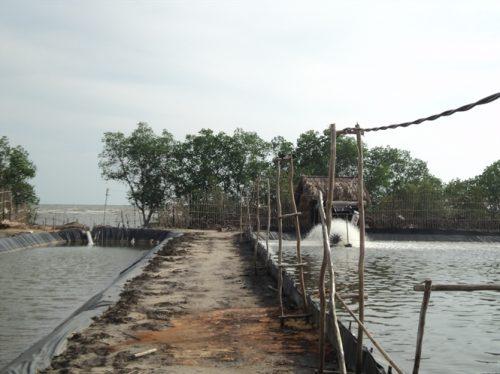 """Những cây đước lưa thưa còn lại được gọi là """"đai rừng bảo vệ phía ngoài"""" khó có thể trụ nổi khi mùa mưa bão đến (Ảnh: nongnghiep.vn)"""
