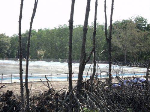 Rừng cây đước hàng chục năm tuổi bị chặt phá để đào ao nuôi tôm (Ảnh: nongnghiep.vn)