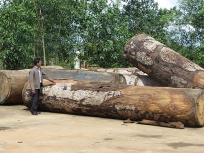 Gỗ khai thác trái phép tại Khu BTTN Nam Nung do lực lượng kiểm lâm tỉnh Ðác Nông thu giữ chờ xử lý (Ảnh: Nhân Dân)