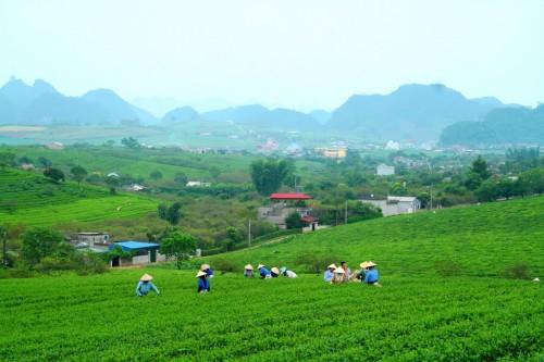 Nông trường Mộc Châu (Ảnh: Đồng Hoàng/panoramio.com)
