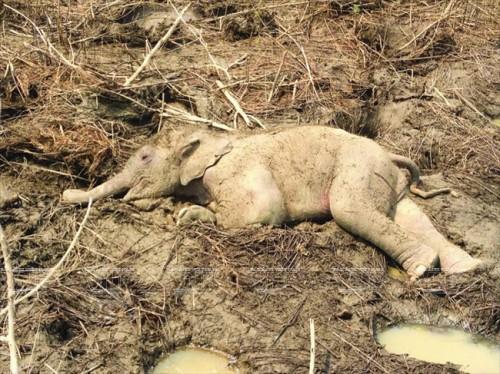 Năm 2013, một cá thể voi con hoang dã khoảng 3 tháng tuổi bị chết tại huyện Ea Súp, Đắk Lắk .(Nguồn: Báo ảnh Việt Nam/Vietnam+)