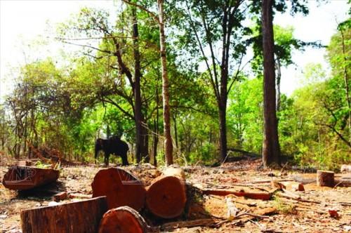 Hiện tượng phá rừng trái phép khiến nơi cư trú của voi ở tỉnh Đắk Lắk đang dần bị thu hẹp. (Ảnh: Báo ảnh Việt Nam/Vietnam+)