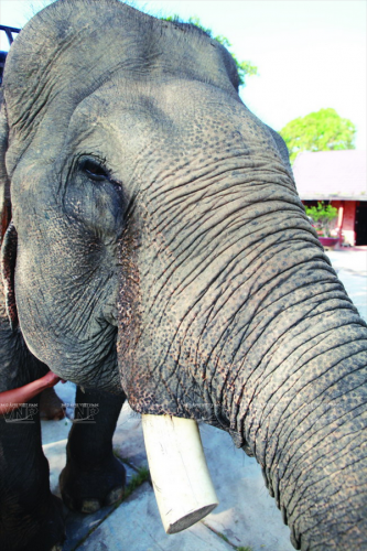Đa số các cá thể voi ở Tây Nguyên đã mất đi bộ ngà của mình bởi nhiều nguyên nhân khác nhau (Ảnh: Báo ảnh Việt Nam/Vietnam+)