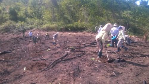 Cảnh người dân xã Cửu An (TX An Khê) phá rừng mới trồng để chiếm đất trước sự bất lực của nhân viên Cty Sông Kôn (Ảnh: nongnghiep.vn)