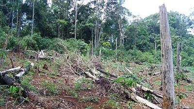 Rừng do Công ty lâm nghiệp Trường Xuân quản lý bị người dân chặt phá, lấn chiếm trồng cao su (Ảnh: Nhân Dân)