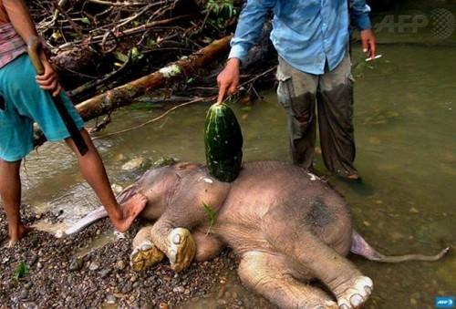 Xác của chú voi con trên đảo Sumatra (Ảnh: AFP)