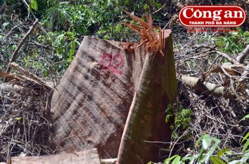 Một trong hàng chục cây gỗ có đường kính hơn 1,5m bị chặt hạ.(Ảnh: Công an TP Đà Nẵng)