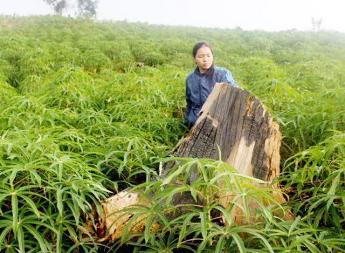 Nghị quyết 30 ra đời hứa hẹn những cánh rừng ở Tây Nguyên sẽ được bảo vệ tốt hơn (Ảnh: Võ Phúc/Sài Gòn Giải Phóng)