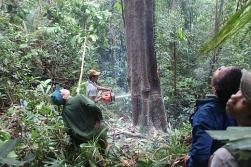 Tận diệt rừng ươi (Ảnh: Hà Nội Mới)
