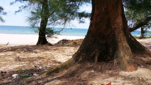 Những gốc phi lao có tuổi đời 100 năm tuổi bị đốn hạ để thực hiện dự án nuôi tôm (Ảnh: VietNamNet)