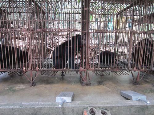 Gấu bị nuôi nhốt trong những chiếc lồng chật hẹp để khai thác mật bán cho khách du lịch Hạ Long (Ảnh: nongnghiep.vn)
