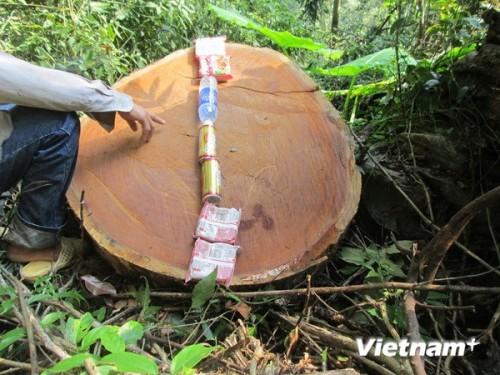 Một thớt gỗ bị ''lâm tặc'' xẻ thịt. (Ảnh: Nguyễn Trình/VietnamPlus)