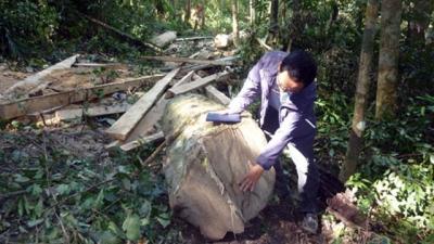Phá rừng phòng hộ lấy hạt dổi ở Đác Lắc