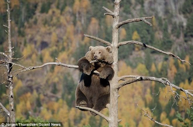 """Chú gấu nâu gây bất ngờ khi leo lên cây để ngủ và """"giải sầu"""""""