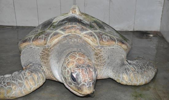 Thừa Thiên – Huế: Ngư dân bắt được cá thể rùa biển quý hiếm