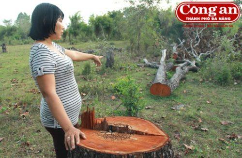 Cây gỗ quý bị đốn hạ trơ gốc. (Ảnh: Công an TP Đà Nẵng)
