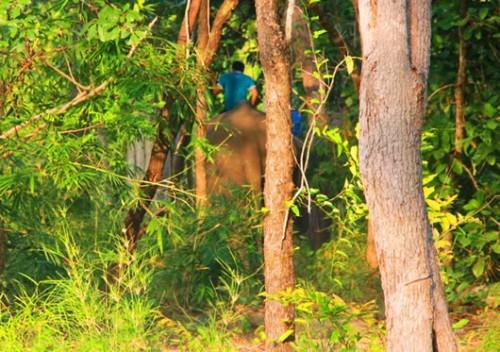 Lâm tặc dùng voi để vận chuyển gỗ. (Ảnh: Công an TP Đà Nẵng)