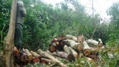 Cây rừng bị đốn hạ, cưa thành khúc chuẩn bị đưa đi tiêu thụ. (Ảnh: Nguyễn Văn Hai)