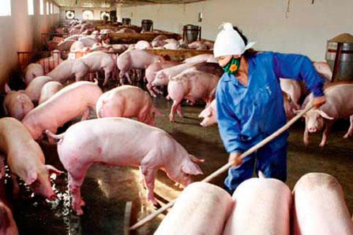 Xử lý chất thải trong chăn nuôi: Luẩn quẩn, bế tắc